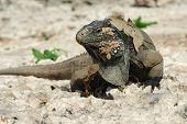 Wild sloughing Iguana of Caribbean Islands Cayo Largo Cuba poster