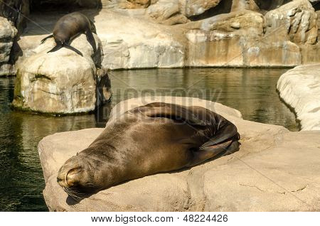 Relaxing Sea Lions