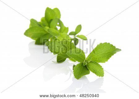 Sugar Leaf.