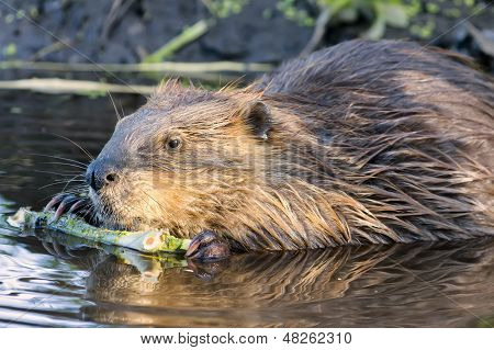 Beaver Chewing On A Branch In The Wild
