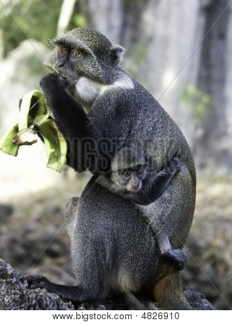 Monkey With Baby Eats Banana