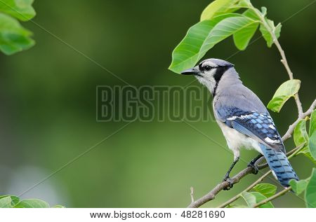 Blue Jay Side View