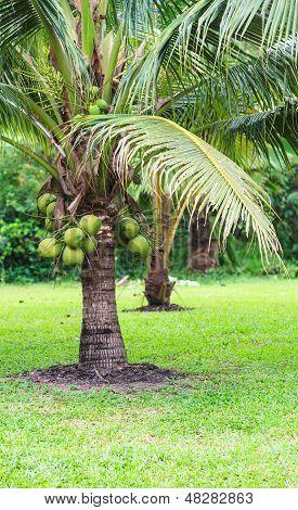 Coconut Tree, Dwarf Variety In Plantation