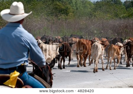 Driving My Cattle