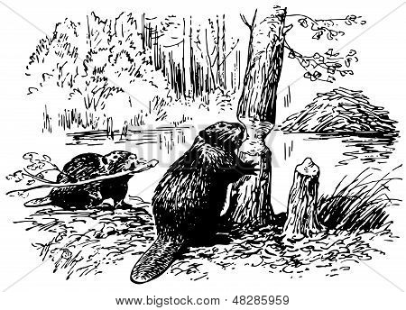 Eurasian Beavers at work in the forest poster