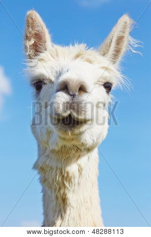 Fluffy Alpaca With Head Held High.