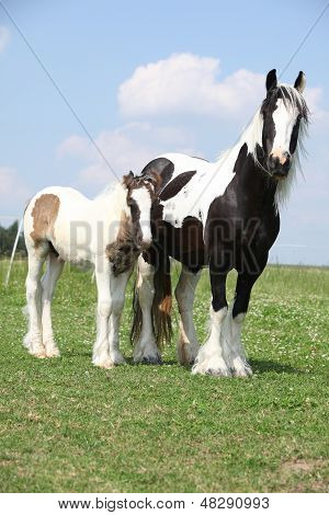 Nice skewbald irish cob mare with foal on pasturage poster