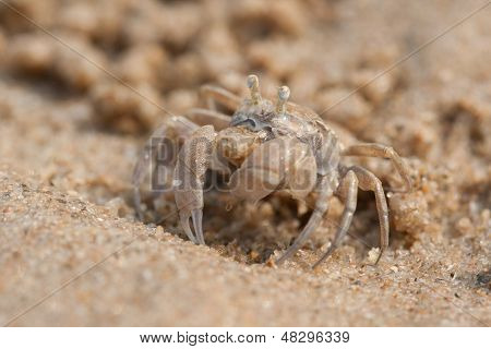 Ghost crab is on the beach