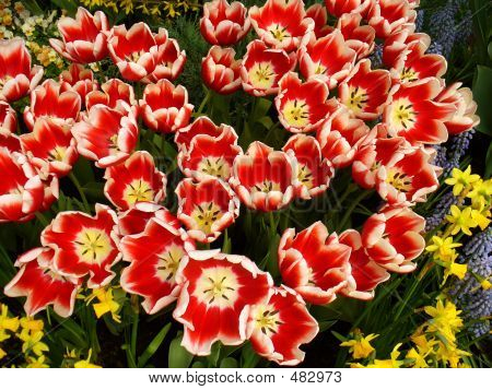 Tulips For Picking