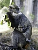 Monkey eats banana and hold a small baby poster