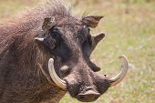Warthog with big tusks and hairy face close-up in sunlight poster