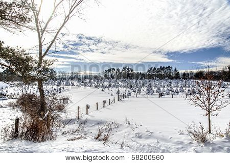 Snow on the Tree Farm