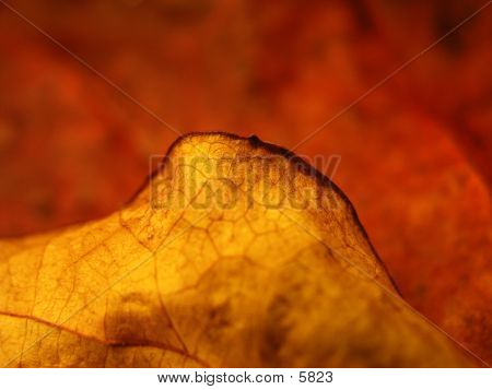Red Leaf In Autumn