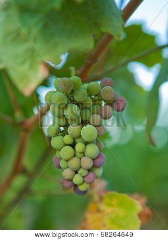 Half mature green grapes on the vine Badajoz Extremadura Spain poster