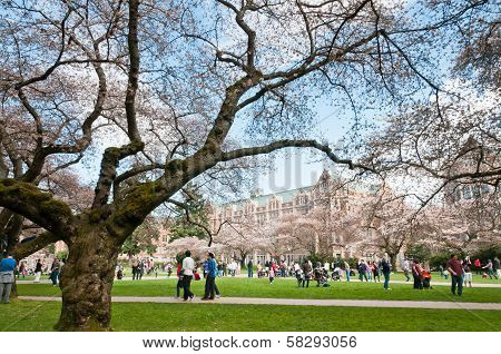 Blooming Cherry Trees University of Washington