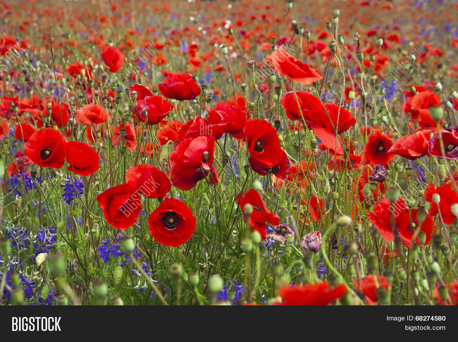 Field Bright Red Poppy Image Photo Free Trial Bigstock