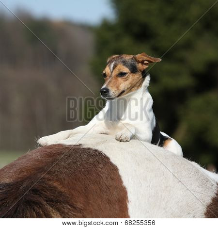 Brave Parson Russell Terrier Lying On Horse Back