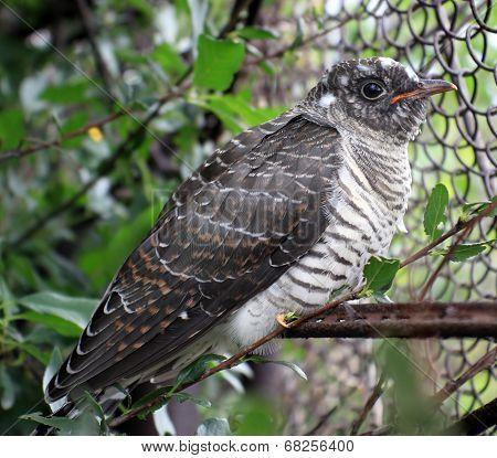 Fledgling Cuckoo