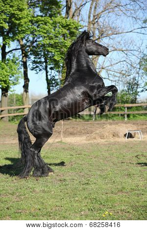 Gorgeous Black Stallion Prancing