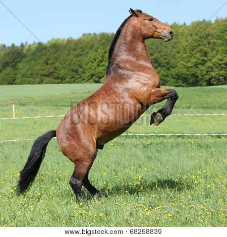 Gorgeous Big Brown Horse Prancing