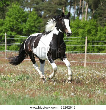 Beautiful Skewbald Stallion Running On Flowering Pasturage