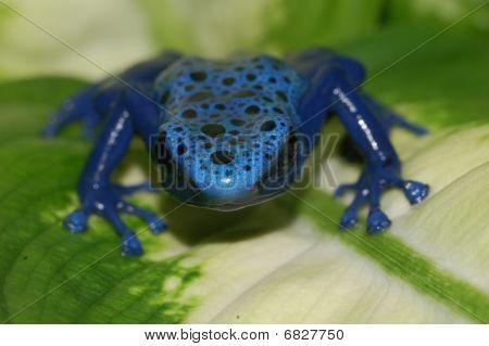 A blue poison dart frog (dendrobates azureus) on a leaf. poster