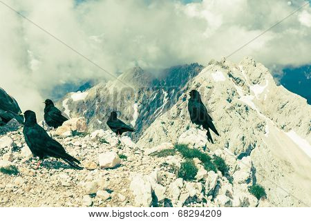 Alpine Choughs With Mountain View