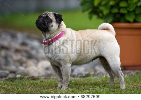 Typical Pug