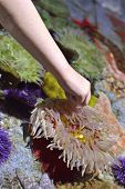 A child's hand touching a sea anemone in a learning aquarium. poster