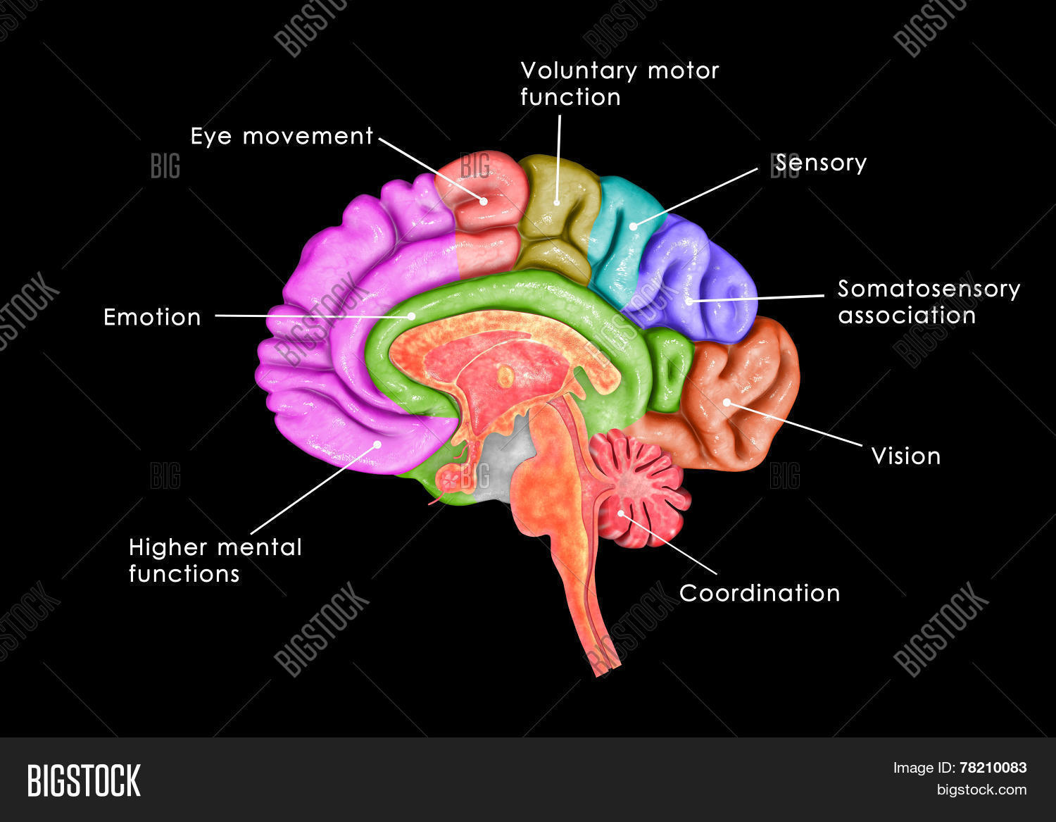 Human Brain Parts Image & Photo (Free Trial) | Bigstock