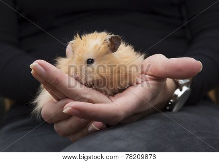 Close up of Hamster in human hands