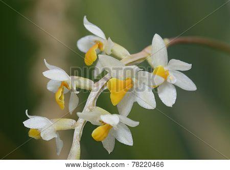 Cobb's Dendrochilum Orchid