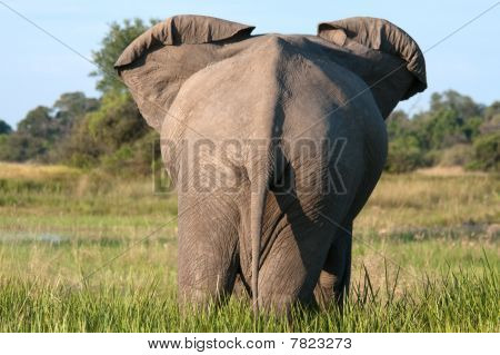 Back End Of An Elephant