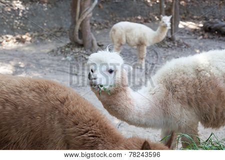 Portrait Of Fluffy Young Alpaca (vicugna Pacos)