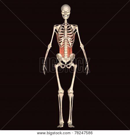 skeleton full body
