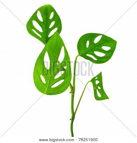 Beautiful  Long Young Green Monstera (var. Expilata) Branch Isolated On White Background, Closeup