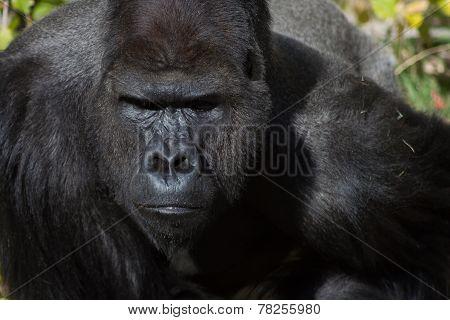 Photo of a Male Silverback Gorilla Face