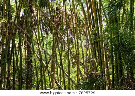Bamboo Forest In Morning