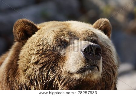 Curious Grizzly Face