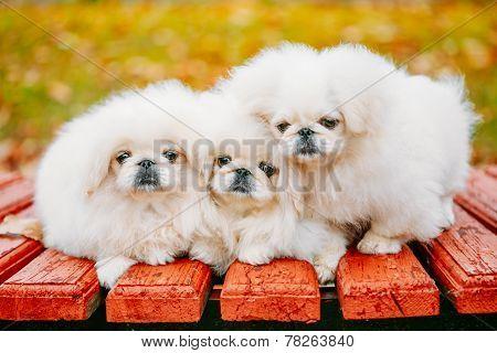 Three White Puppies Pekingese Pekinese Peke Whelps Puppy Dog