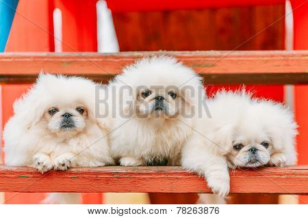Three White Puppies Pekingese Pekinese Peke Whelps Puppy Dog Sitting On Wooden Bench In Autumn Park poster