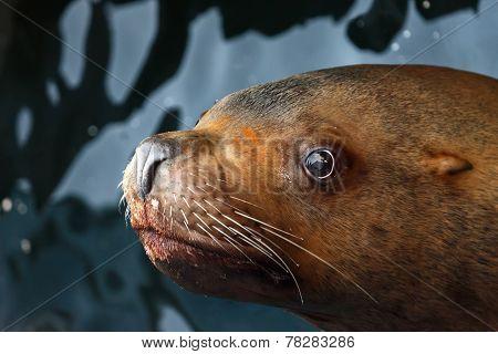 Steller Sea Lion (eumetopias Jubatus)