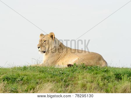 Lioness Tired