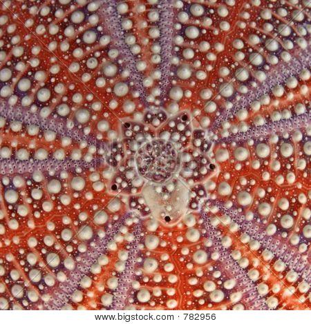 Sea Urchin Detail