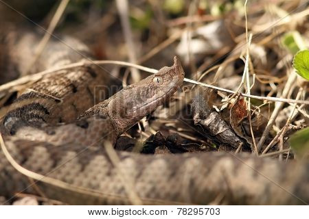 Camouflaged Dangerous European Snake