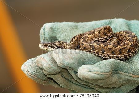 Meadow Viper In Glove