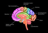 The human brain has  three parts called the forebrain, midbrain, and hindbrain. poster