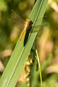 dragonfly resting on green leaf in ricefield poster