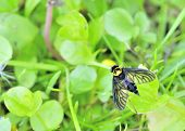 A golden backed snipe fly perched on a leaf. poster