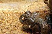 A big Colorado Toad - Bufo Alvarius - toxic! poster